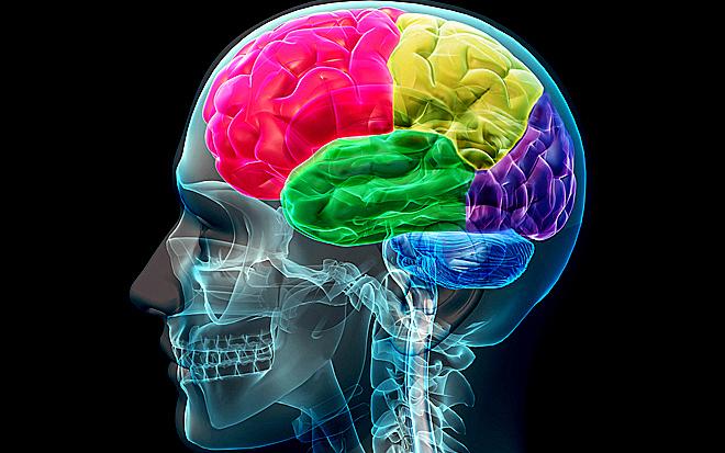 Brain_lobes.jpg.jpg